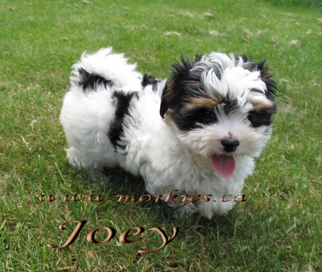 Gorgeous Joey Morkie adopted to Shane and Christine