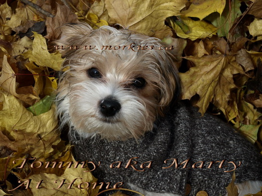 Marty Morkie, used to be Tommy, now so gorgeous!!
