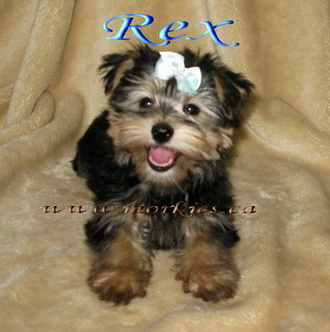 Morkie puppy Rex is sold from http://www.morkie.ca
